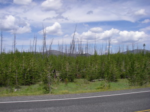 Yellowstone National Park and the emergence of a new forest among the burned poles from 1989