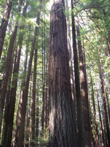 Old Redwood tree, Northern California, 2011